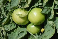 Los tomates verdes en las ramas en el vegetanle cultivan un huerto Ciérrese encima de 2 imagen de archivo libre de regalías
