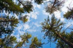 Los tops de altos cedros en el fondo del cielo azul Imágenes de archivo libres de regalías