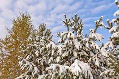 Los tops de la picea y del abedul cubiertos con la primera nieve Fotos de archivo