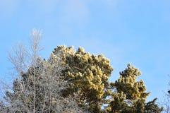 Los tops de los árboles cubiertos con helada en el fondo del cielo azul Imágenes de archivo libres de regalías