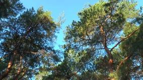 Los tops de los pinos almacen de metraje de vídeo