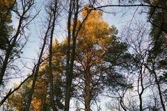 Los tops de los pinos del bosque en los rayos de la puesta del sol imagen de archivo