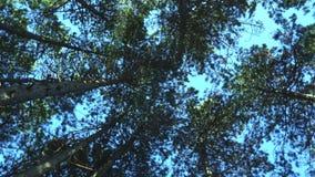 Los tops de los pinos en el sol en un cielo azul metrajes