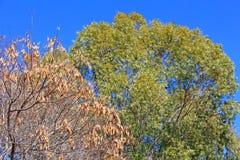 Los tops de un árbol de eucalipto al lado de un árbol seco imagenes de archivo