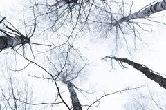 Los tops del árbol de abedul fotografiaron de debajo, con el cielo brillante sobre ellos Imagen de archivo