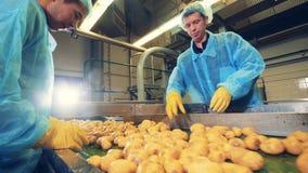 Los trabajadores de sexo masculino están cortando los tubérculos de la patata almacen de metraje de vídeo