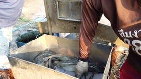 Los trabajadores están clasificando tamaño del siluro en granja de pescados antes de logístico o de transporte para comercializar almacen de video