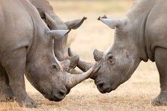 Los tres cuernos de fijación del rinoceronte blanco Imágenes de archivo libres de regalías