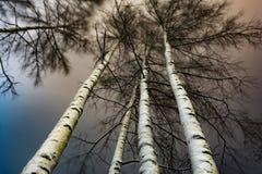 Los troncos blancos de abedules y de la corona se cubren con la nieve, bosque del invierno en la noche Imágenes de archivo libres de regalías