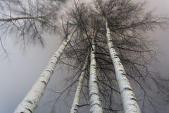 Los troncos blancos de abedules y de la corona se cubren con la nieve, bosque del invierno en la noche Foto de archivo
