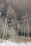 Los troncos blancos de abedules y de ramas se cubren con la nieve, bosque del invierno en la noche Imagenes de archivo