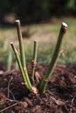 Los troncos color de rosa del corte del cierre para arriba en el jardín con un bokeh empañan backgrou Foto de archivo libre de regalías