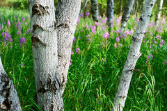 Los troncos de árbol Foto de archivo libre de regalías
