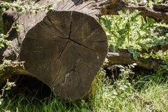 Los troncos de árbol cortados enormes abandonaron en un bosque imagenes de archivo