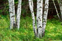 Los troncos de árbol de abedul blanco Imagen de archivo