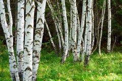 Los troncos de árbol de abedul de plata Imagen de archivo libre de regalías