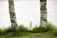 Los troncos de árbol de abedul se cierran para arriba Foto de archivo