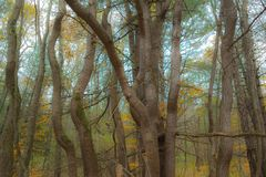 Los troncos de árbol que tejen forman diseño impar de la naturaleza foto de archivo
