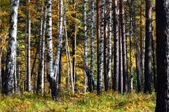 Los troncos de los árboles en el pino y el abedul del bosque del otoño Imagen de archivo libre de regalías