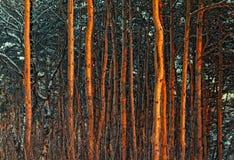 Los troncos de los árboles parquean el bosque del pino Fotografía de archivo