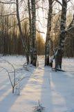 Los troncos de abedules echaron sombras oscuras en la nieve blanca Imagen de archivo libre de regalías