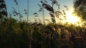 Los troncos de las cañas del río sacudidas levemente en el viento en los rayos del sol poniente almacen de video