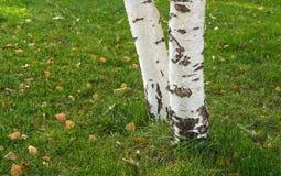 Los troncos de los árboles de abedul fotografía de archivo