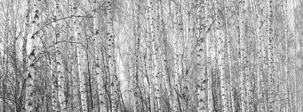 Los troncos de los árboles de abedul Imagen de archivo