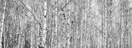 Los troncos de los árboles de abedul Fotografía de archivo libre de regalías