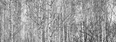 Los troncos de los árboles de abedul Imagenes de archivo