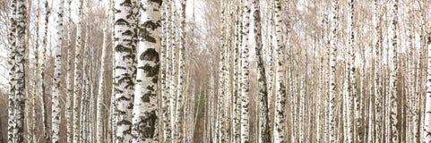 Los troncos de los árboles de abedul con la corteza blanca Imagen de archivo libre de regalías