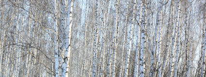 Los troncos de los árboles de abedul con la corteza blanca Fotografía de archivo