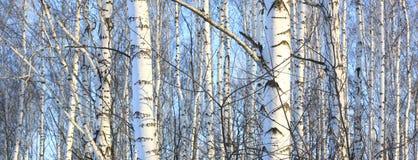 Los troncos de los árboles de abedul con la corteza blanca Fotos de archivo