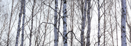 Los troncos de los árboles de abedul con la corteza blanca Imagen de archivo