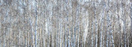 Los troncos de los árboles de abedul con la corteza blanca Fotografía de archivo libre de regalías