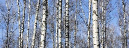 Los troncos de los árboles de abedul con la corteza blanca Imágenes de archivo libres de regalías