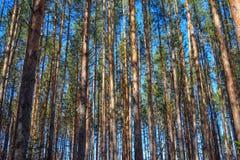 Los troncos de los árboles de pino en primavera temprana en la luz del sol Fotos de archivo libres de regalías