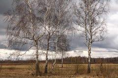 Los troncos de los abedules de plata en un cielo azul Fotos de archivo
