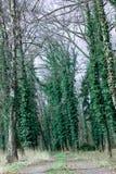 Los troncos de los pinos cubiertos con la hiedra verde rizada en bosque del Hada-cuento del bosque en verano y otoño imagenes de archivo