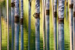 Los troncos desecados de los árboles sumergidos de la picea de Schrenk's que suben sobre los water's emergen de la parte infe Fotografía de archivo