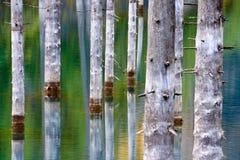 Los troncos desecados de los árboles sumergidos de la picea de Schrenk's que suben sobre los water's emergen de la parte infe Imágenes de archivo libres de regalías