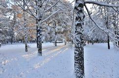 Los troncos nevados de los árboles de abedul en ciudad del invierno parquean Imagen de archivo libre de regalías
