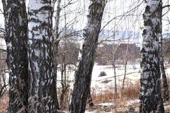Los troncos rusos de los árboles de abedul se colocan en el campo en la primavera Imagen de archivo libre de regalías