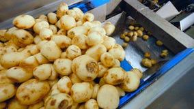 Los tubérculos de la patata están consiguiendo caídos sobre el transportador almacen de metraje de vídeo