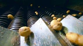Los tubérculos de patatas se están trasladando a la cortadora metrajes