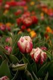 Los tulipanes Fotografía de archivo libre de regalías