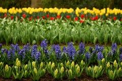 Los tulipanes Fotos de archivo