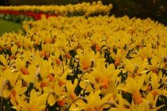 Los tulipanes Imagen de archivo libre de regalías