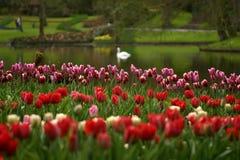 Los tulipanes Imagen de archivo