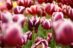 Los tulipanes Imágenes de archivo libres de regalías